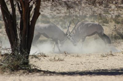 Gemsbok at battle in dust cloud.