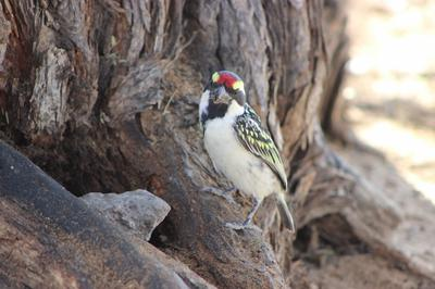 Pied Barbet at Melkvlei Picnic spot.