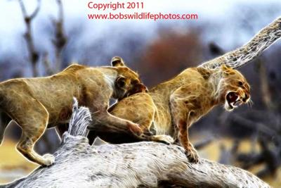 Lions playing at Goas waterhole