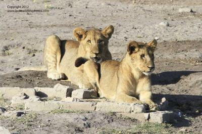 Lion cubs 1
