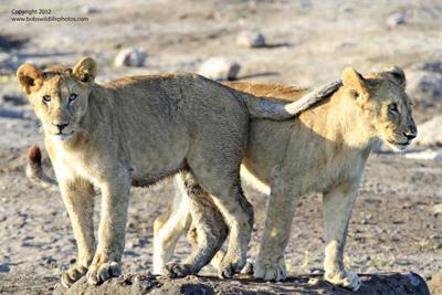 Lion cubs 3