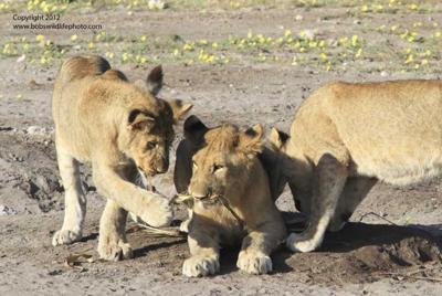 Lion Cubs 4