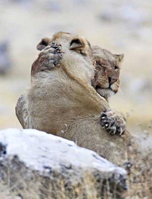 Hug lion style