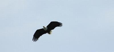 The resident Fish Eagle makes a fly past