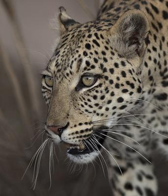 Twee Rivieren leopard