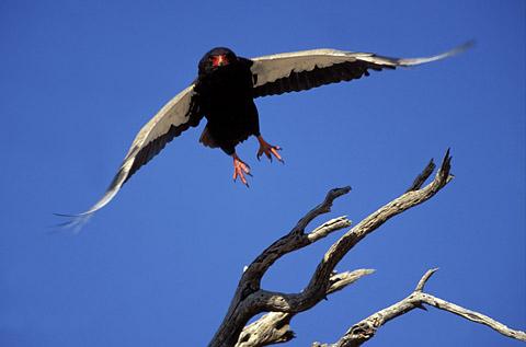 Bateleur eagle in the Kgalagadi