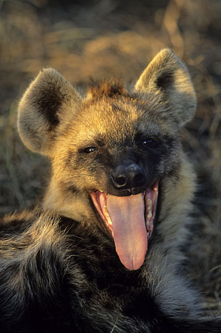 Hyena in Kruger National Park