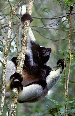 Indri - largest Lemur in Madagascar