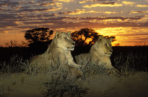 Lions at sunrise in the Kgalagadi