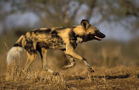 Wild dog in Kruger Park