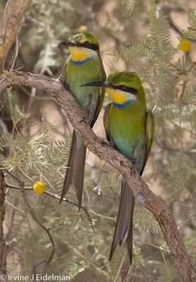swallowtailed bee eaters