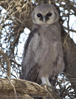 Giant Eagle Owl in the Kalahari