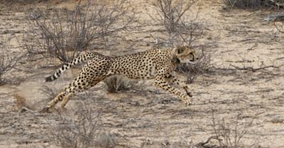 Cheetah mother chasing springbok