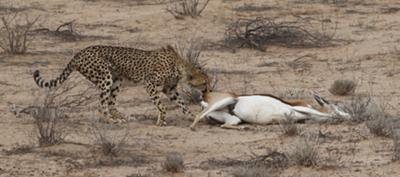Cheetah cub dragging mother's kill