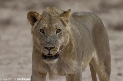 juvenile male lion