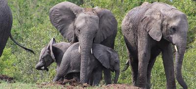 Elephant appearing at Rhino pan