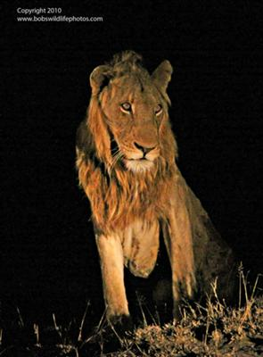 Sad looking lion