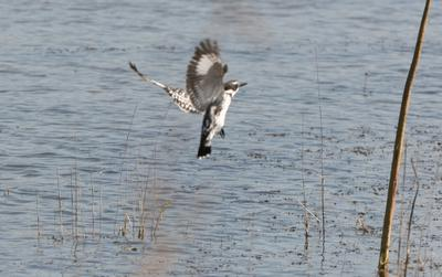 Pied Kingfisher at transport dam.