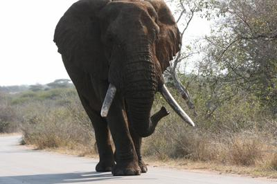 Elephant bull ambling along on the road from Lower Sabie to the bridge over the Sabie River.