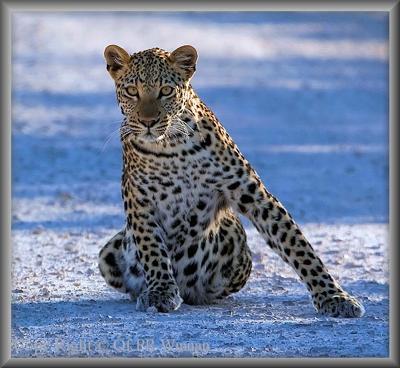 Leopard posing