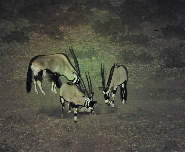 Gemsbok popped in for a drink at night at the waterhole