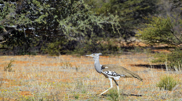 Kori Bustard on the move