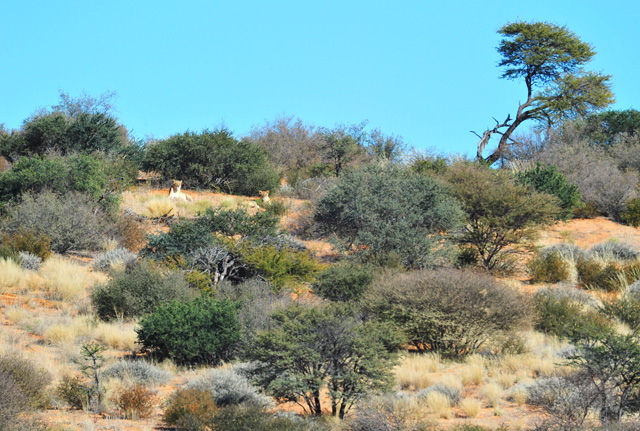 Lionesses on sand dune near Polentswa Lodge