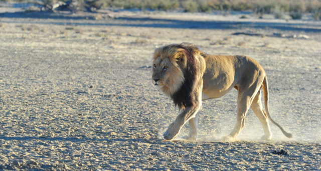 Male Lion on the move from waterhole