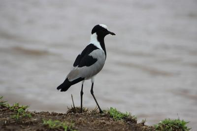Blacksmith Plover photographed at the edge of Sunset Dam.