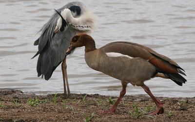 Egyptian Goose sizing up A Grey Heron