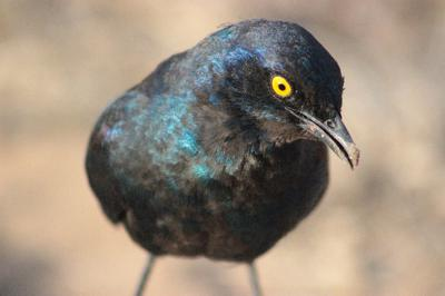 Glossy Starling begging for a morsel