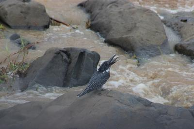 Giant Kingfisher Photographed of the Lower Sabie Bridge.