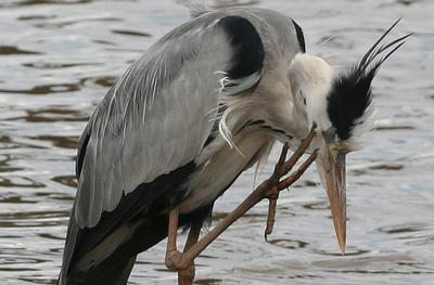 Grey Heron along Sunset Dam edge.Long toes for a long itch.