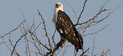 Possible Immature Fish Eagle near Duke water Hole.