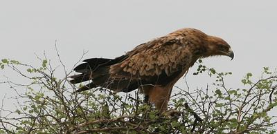 Tawny Eagle on the way to Duke water hole.