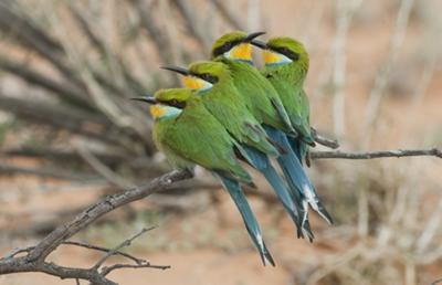Swallow Tailed Bee Eaters