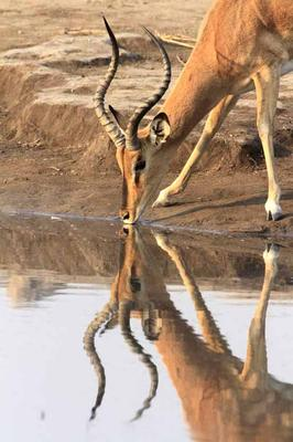 Impala (black faced)
