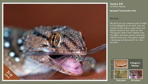Gecko with kill - Kalahari