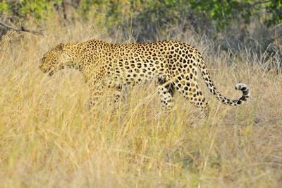 Resident Leopard