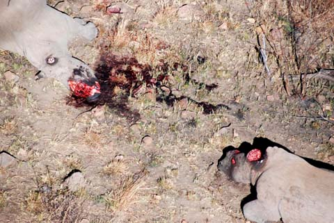two white rhino slaughtered for their horns in Pilanesberg