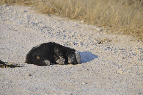 Honey badger roadkill in Etosha