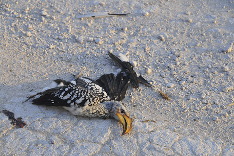 roadkill hornbill near halali camp in etosha