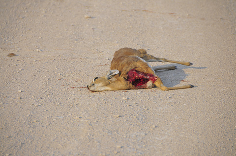 roadkill buck in Etosha near Halali camp