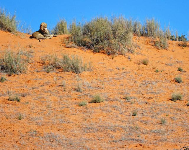 Male lion on sand dune