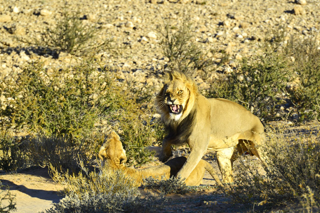 Mating lions in the Kgalagadi