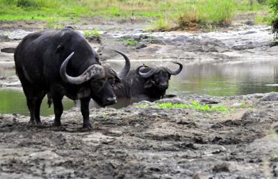 Buffalo cooling off