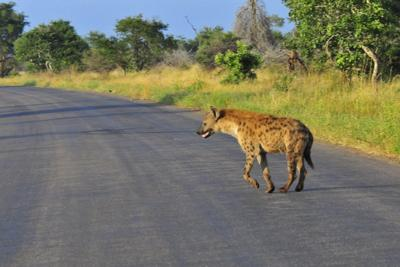 Hyena crossing road