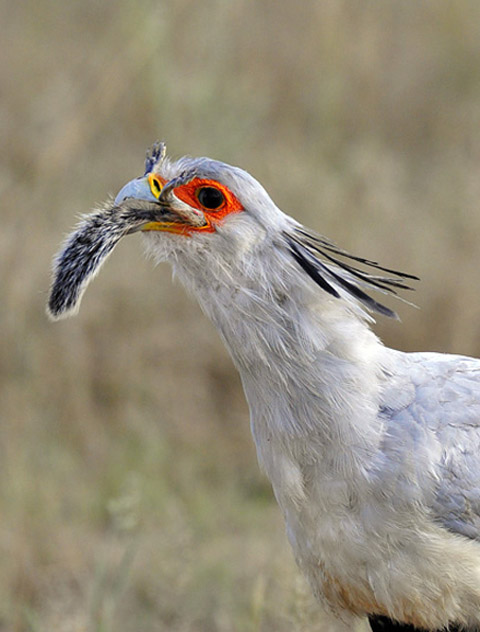 secretary bird swallowing squirrel kill