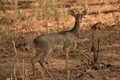 Female antelope.