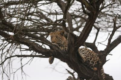 Leopard in a tree at the junction of S28 and H 4-2